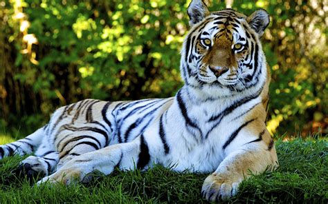 imagenes sorprendentes de tigres fotos de tigres en hd imagenes de pantheras tigris