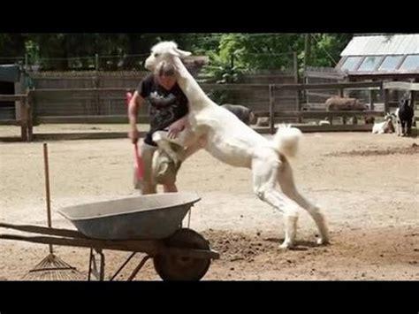 llama attack snakebytestv animalbytestv youtube