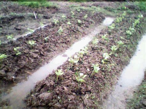 Benih Kacang Panjang Bola Dunia tanaman kacang panjang tanamanbaru