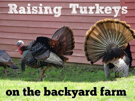 raising backyard turkeys raising turkeys on the backyard farm raising backyards