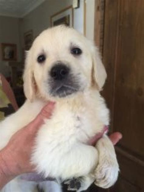 golden retriever puppies available beautiful golden retriever puppies available offer 200
