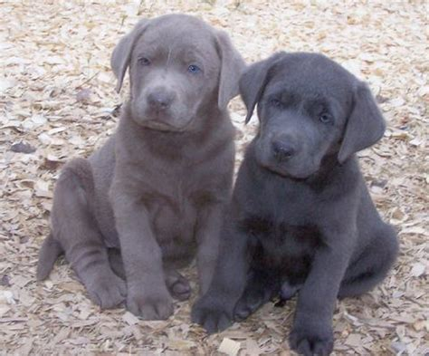 charcoal lab puppies puppies silver and charcoal labs pinpoint