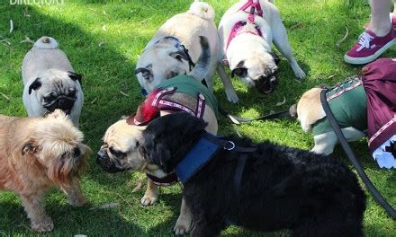 pugs in perth pet directory perth wa paws directory products services events