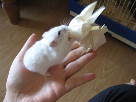 How To Make An Origami Hamster - origami bunny vs real hamster by darkumah on deviantart