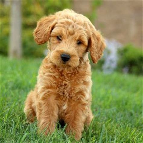 mini goldendoodles for sale in nj 25 best ideas about miniature labradoodle for sale on