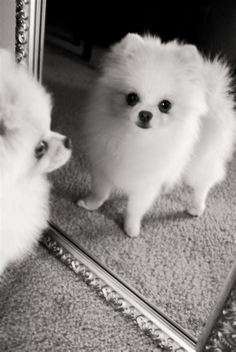 pomeranian boy names 1067 best images about pomeranian names and pictures on cutest dogs
