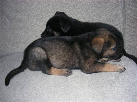 german shepherd puppies for adoption in michigan german shepherd puppies need by thursday for sale adoption from center line
