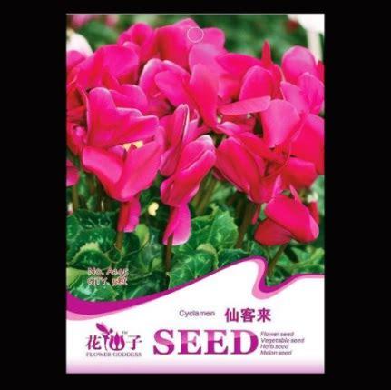 Biji Benih Bibit Bunga Pink Dreamland Import benih bunga pink cyclamen 5 biji retail asia