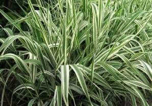 bear creek nursery grasses sedges botanical plant names