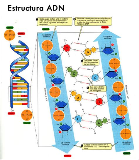 numero de cadenas en el adn y arn noelia 193 cidos nucleicos