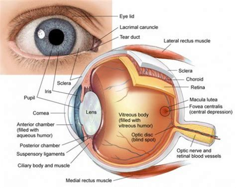 the eye is the l of the human eye anatomy parts and structure