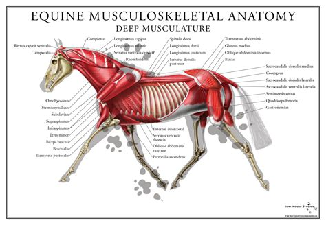 horses muscles diagram equine muscular system poster