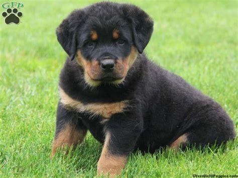 rottweiler bernard mix 1000 images about puppies on australian shepherd mix puppys and