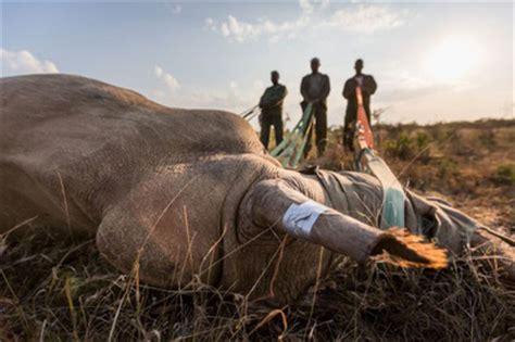 rinoceronte volante rinoceronti volanti per salvare specie la passione