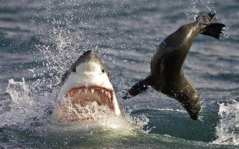 baby shark eating look at these great white sharks teasing and tormenting