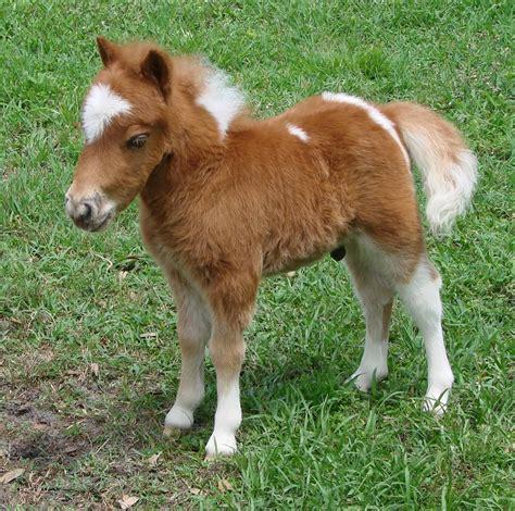 mini pony mini baby horses www pixshark images