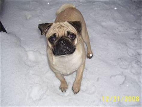 milo pug pug photos pictures pugs page 19