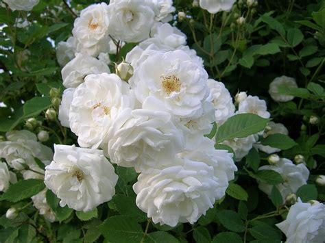 Pupuk Untuk Bunga Ros mawar putih tips menanam bunga mawar