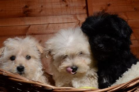 yorkie bichon mix temperament yorkie bichon mix temperament breeds picture