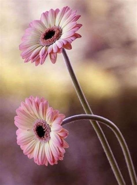 Ideas For Gerbera Flowers 25 Best Ideas About Gerbera On Pinterest Gerbera Daisies Gerbera Colors And Paper