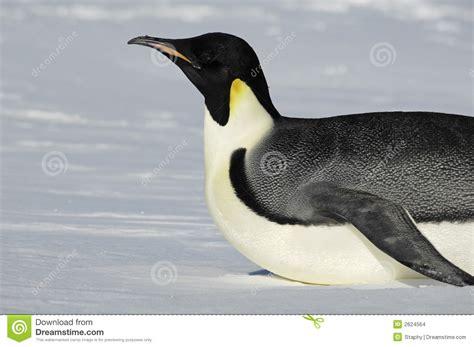 sci volant prezzi pinguino antartico scivolante fotografia stock immagine