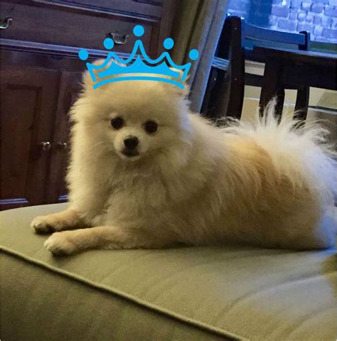 pomeranian kennel club 10 things only a pomeranian owner would understand american kennel club