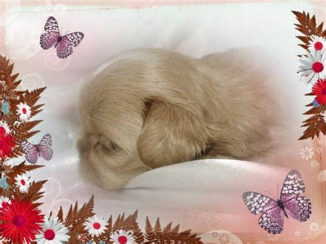 apricot shih tzu 1000 images about shih tzu sweeties on dogs and