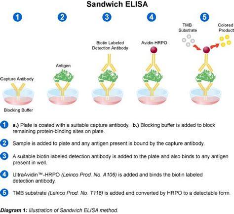 elisa test diagram sandwich elisa diagram laboratories