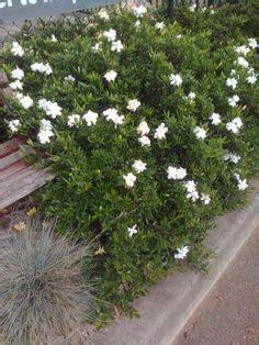 creeping dwarf gardenia 2 5 quart shrub groundcover creeping gardenia radicans