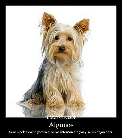 yorkies for dummies yorkshire terrier body breeds picture