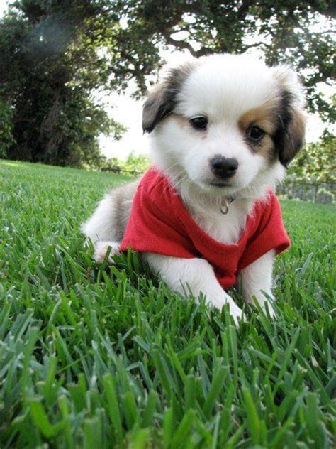 shepherd shih tzu mix quot lamby quot mini aussie mix shih tzu and mini aussie auss tzu puppy