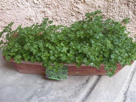 faire pousser du persils sur balcon