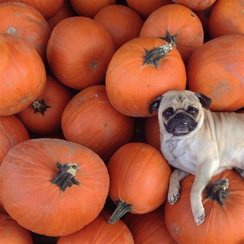 pumpkin pug pumpkin patch pug dogs