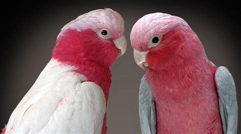 lutino and normal galah rose breasted cockatoos cockatoos pinterest water animals and animal