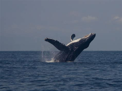 Whale L by Sidney Whale Orca Babies And Humpbacks Sidney Whale