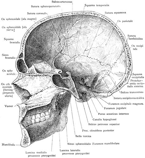 skull cross section median section of the skull and mandible clipart etc