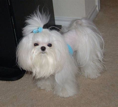 puppy cut with ponytail 29 best dogs images on pinterest fluffy pets adorable