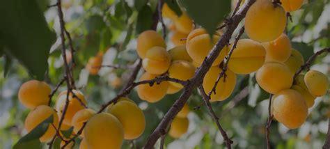Delmonte Halves 825g monte europe prepared fruits apricot halves in syrup