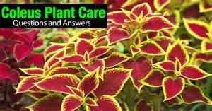 coleus plant care questions and answers