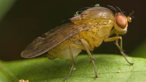 fruit flies expert advice 5 ways to get rid of annoying fruit flies