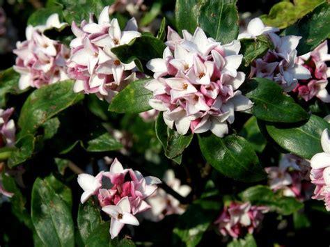 Petit Arbuste Fleuri by 17 Best Ideas About Arbuste Fleuri On Arbuste