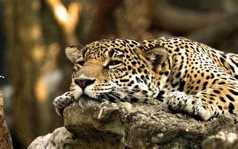 baby jaguar animal wallpaper