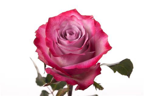 Benihbijibibit Bunga Tulip Bi Colour stemmed pink and purple roses stem roses