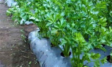 Bibit Seledri Batang 8 cara budidaya menanam seledri dengan batang biji agar