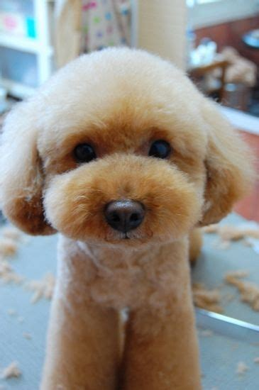 Poodle Hairstyles by 30 Poodle Haircuts You Ll Definitely Hairstylec