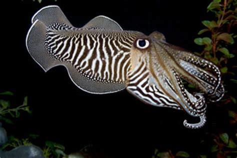 Narwhals or tentaclopse (aka cuttlefish) - General ...