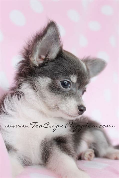 chihuahua puppies for sale in az haired teacup chihuahua puppies for sale breeds picture