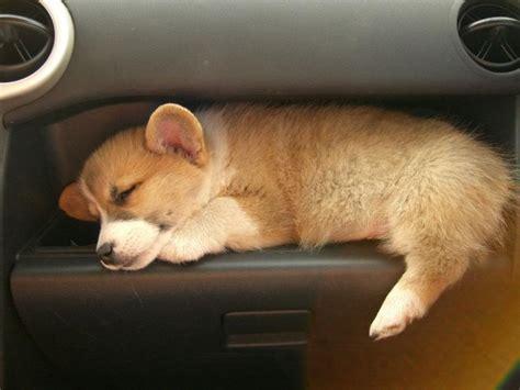 corgi puppy sleeping sleeping baby corgi in a scion xb my car puppys and