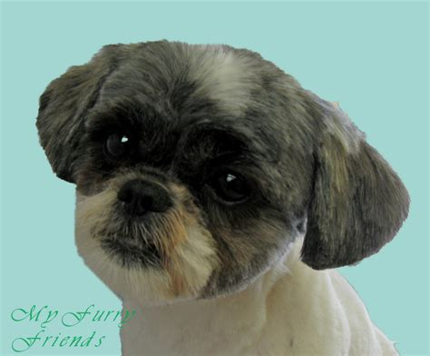 shih tzu with hair image gallery shih poo