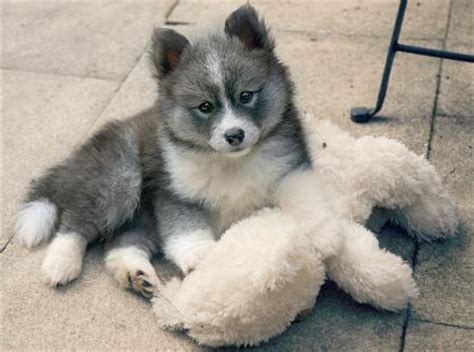 how big do husky pomeranian mix get 25 best ideas about pomsky price on pomsky puppies price husky puppies